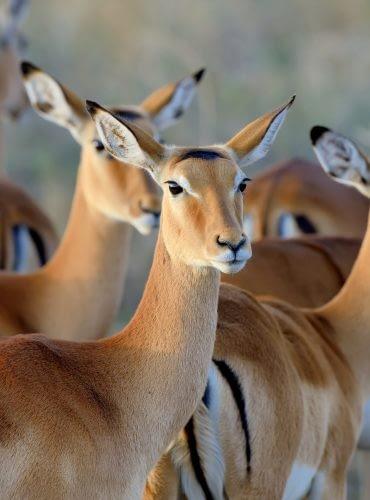 thomson-s-gazelle-on-savanna-in-africa-1.jpg